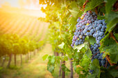 Lush Wine Grapes Clusters Hanging On The Vine