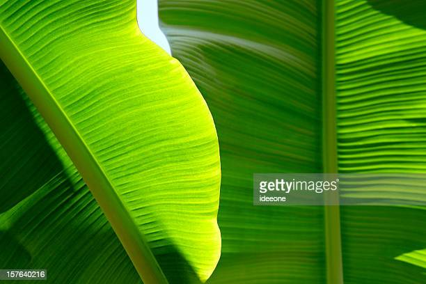 Lushious Banana leaf