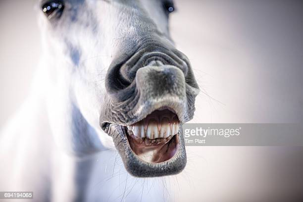 lusitano horse makes a funny face. - horse teeth stock photos and pictures