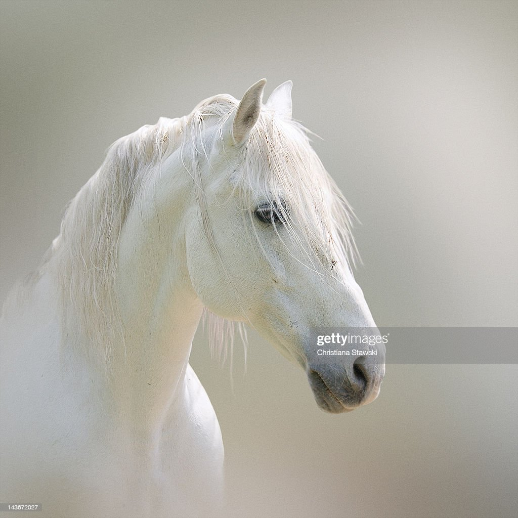 Lusitano horse : Stock Photo