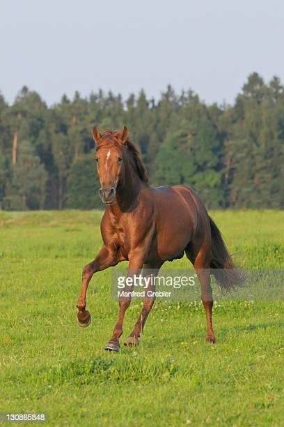 Lusitano stallion in the paddock in evening light