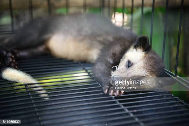 Luwak in a cage