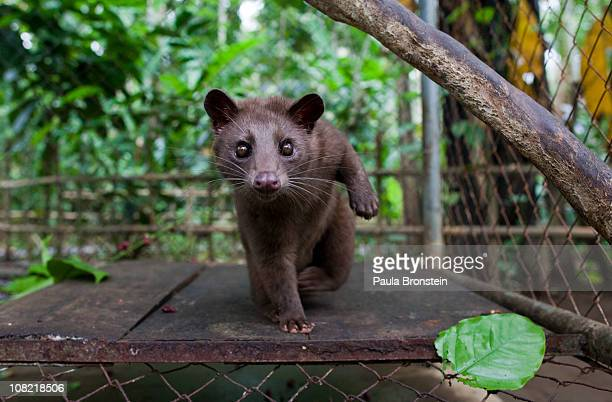 Luwak is kept in a cage so that tourists can view the animal at the Abian Sari coffee plantation January 20 2011 in Tapaksiring village Bali...