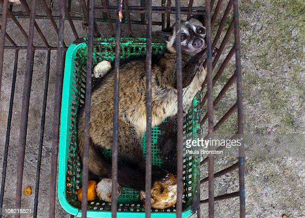 Luwak is kept in a small cage and never allowed out being fed coffee beans once a day January 20 2011 in Pupuan village Bali Indonesia Sari and her...
