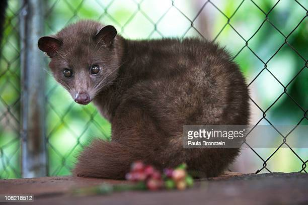 Luwak sits in its cageJanuary 16 2011 in Bali Indonesia The Luwak coffee is known as the most expensive coffee in the world because of the way the...