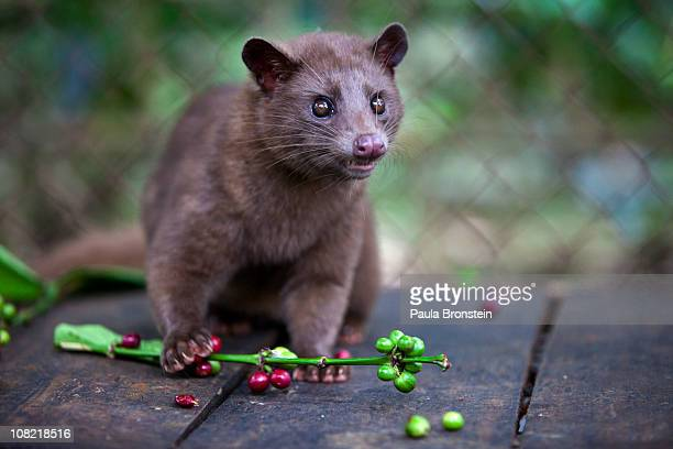 Luwak snacks on coffee berries inside its cage January 16 2011 in Bali Indonesia The Luwak coffee is known as the most expensive coffee in the world...