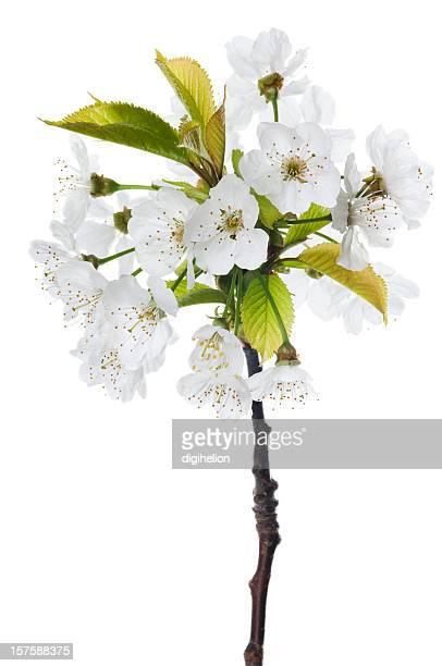 De fleur de cerisier sur blanc