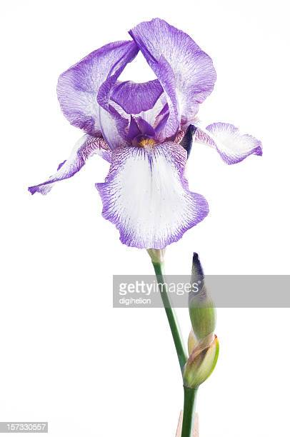 Luxury purple iris flower on white background