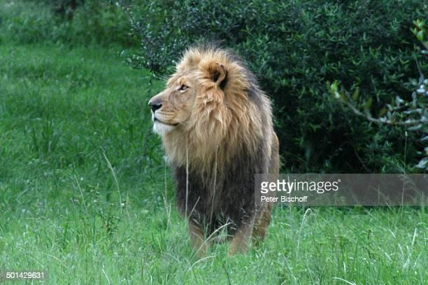 Löwe Glen Afric Country Lodge Hartbeespoort bei Pretoria Südafrika Afrika Tier Raubtier Reise BB DIG PNr 240/2006