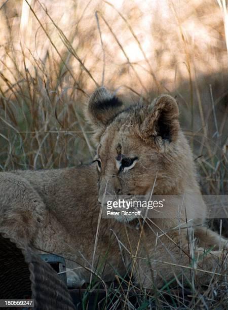 Löwe Tier Reise Zimbabwe/Afrika amRande der DreharbeitenARDAbenteuerReihe Unter der SonneAfrikas