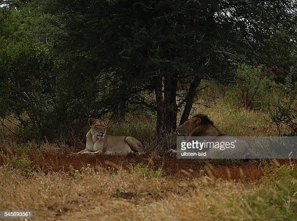 Löwen - Paar - Krüger National Park,Republik Südafrika- 1993