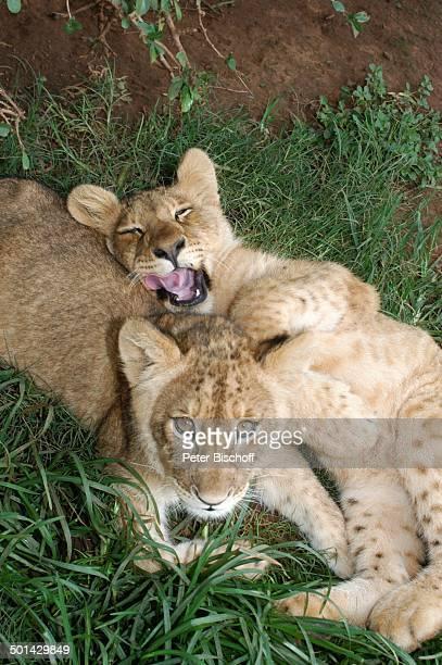 LöwenBabies Glen Afric Country Lodge Hartbeespoort bei Pretoria Südafrika Afrika Löwe Tier Raubtier Reise BB DIG PNr 240/2006