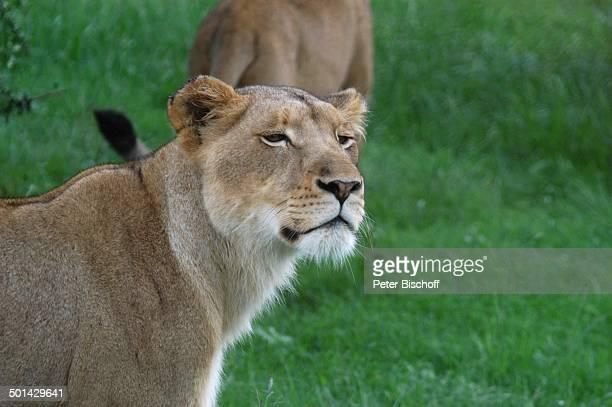 Löwin Glen Afric Country Lodge Hartbeespoort bei Pretoria Südafrika Afrika Löwe Tier Raubtier Reise BB DIG PNr 240/2006