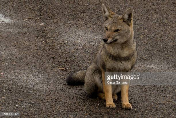 lycalopex culpaeus - gray fox stock photos and pictures