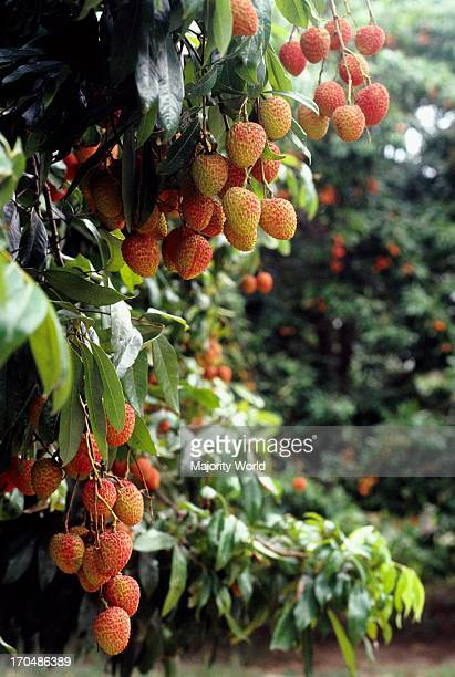 Lychees are a popular fruit, which grows in the summer season. A tree laden with ripe lychees. Dinajpur. Bangladesh.
