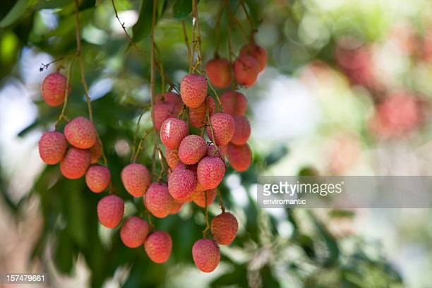 Lychees growing in a Thai orchard.