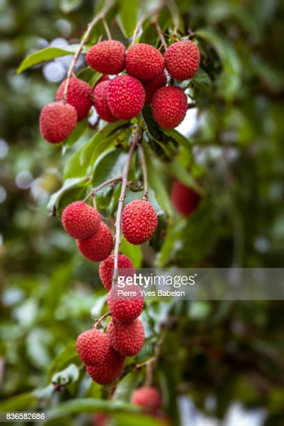 lychees red and ripe - pierre yves babelon stock pictures, royalty-free photos & images