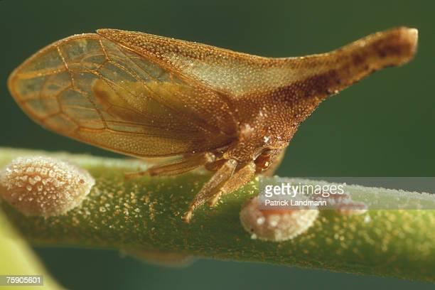 Lycoderes fernandezi female of its laying Gregarious treehoppers are scattered on the stem with their larva Their body which is pointed outside looks...