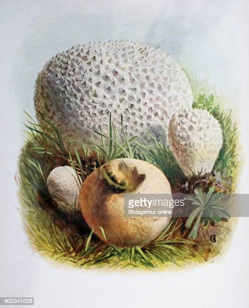 Lycoperdon is a genus of puffball mushrooms Lycoperdon caelatum digital reproduction of an ilustration of Emil Doerstling