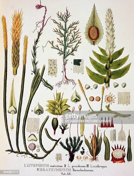 Lycopodium and Brachymenium colour engravings from Plantarum Cryptogamicarum Brasiliensium plate XX by Johann Baptist Ritter von Spix and Carl...