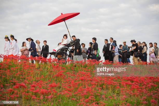 Lycoris Radiatas flowers in full bloom near the Yakachi River in Handa city where the bride rides in a rickshaw and the groom walks alongside during...