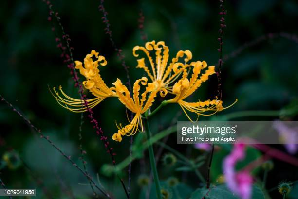 lycoris traubii - amaryllis stock pictures, royalty-free photos & images
