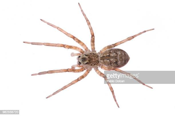 lycosa sp. - spider stock pictures, royalty-free photos & images