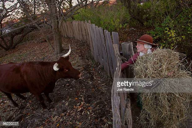 Lydia Hicks brings food to a cow in the 1627 Pilgrim Village at Plimoth Plantation where she and other roleplayers portray Pilgrims seven years after...