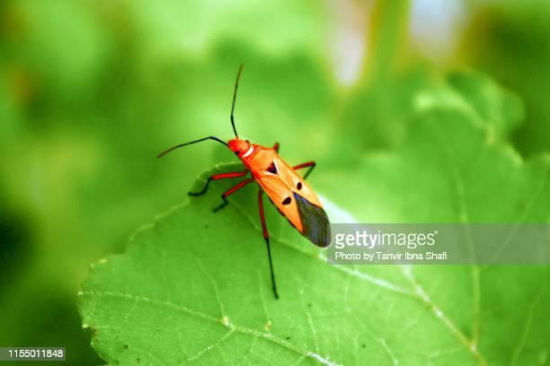 lygaeidae  or milkweed bug - savar stock pictures, royalty-free photos & images
