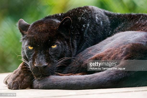 Lying black leopard
