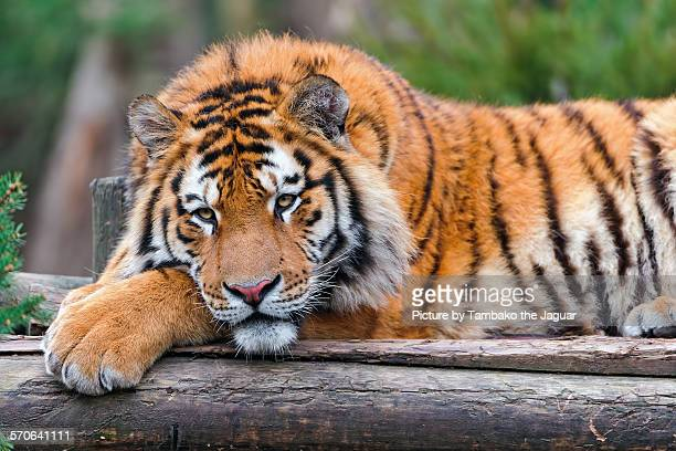 Lying bored tiger
