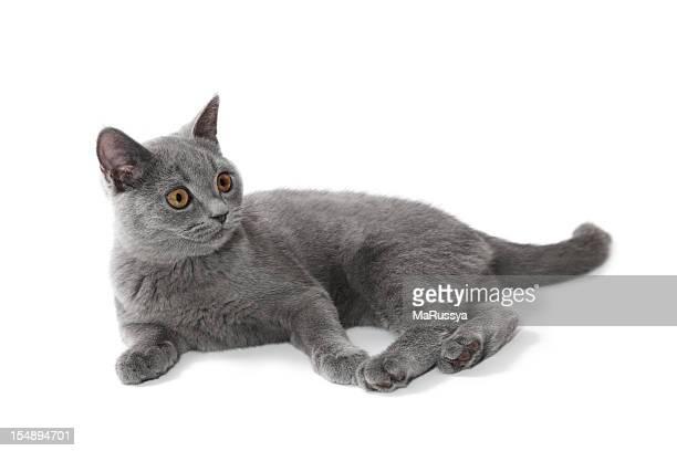 shorthair liegen britische Kätzchen, 4 Monate alt.