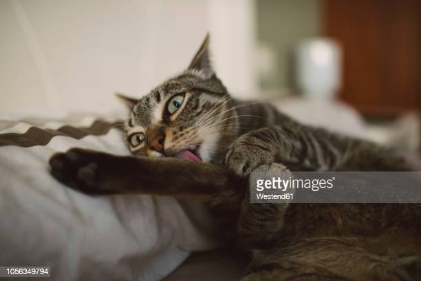 Lying cat licking a paw