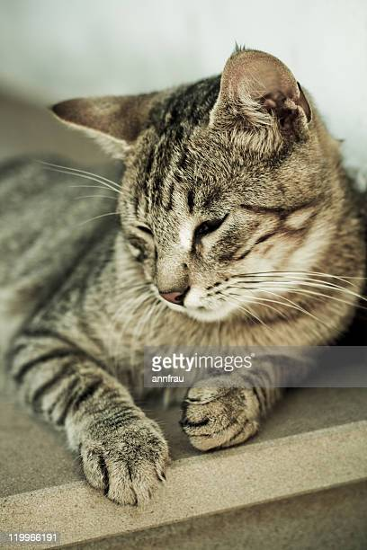 lying cat - annfrau stock photos and pictures