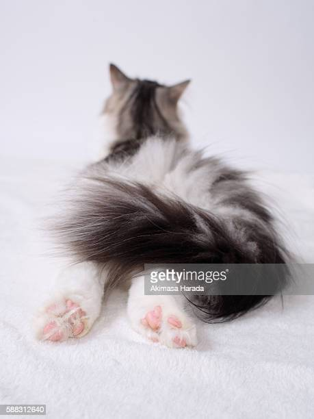 lying cat - norwegian forest cat stock photos and pictures