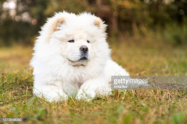 lying chow-chow puppy - chow dog stock pictures, royalty-free photos & images
