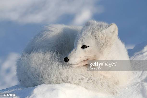 lying fox. - arctic fox stock pictures, royalty-free photos & images