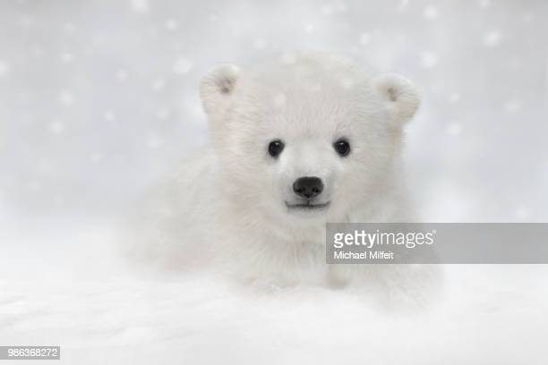 lying in the snow - cub stock pictures, royalty-free photos & images