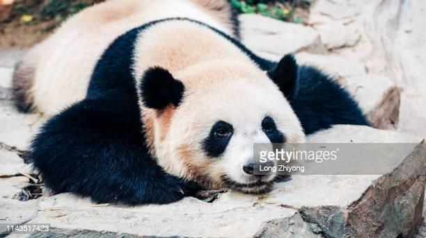 lying panda - panda animal stock pictures, royalty-free photos & images