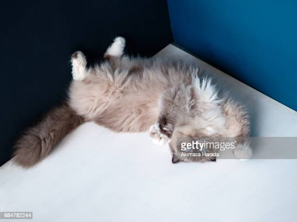 a lying ragdoll cat - ragdoll cat stock pictures, royalty-free photos & images