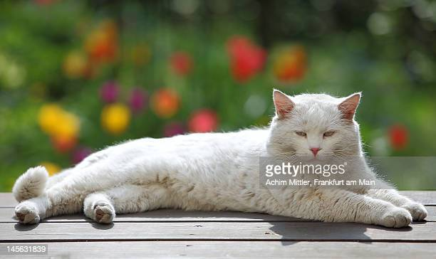 Lying white cat in front of colorful tulips