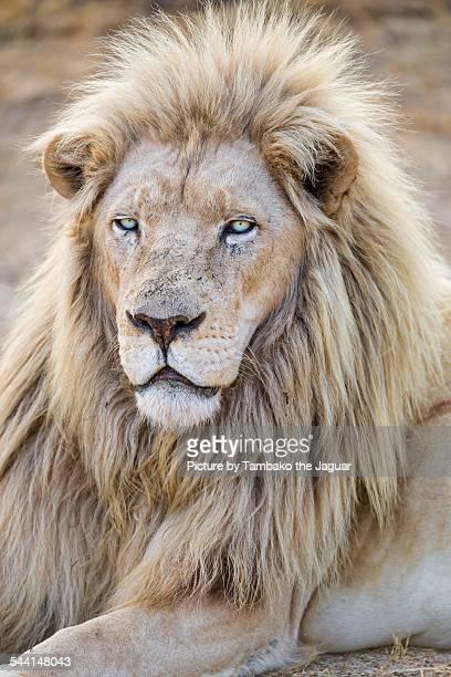 Lying white lion