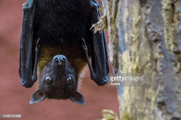Lyle's flying fox native to Cambodia Thailand and Vietnam male hanging upside down from hind feet in tree