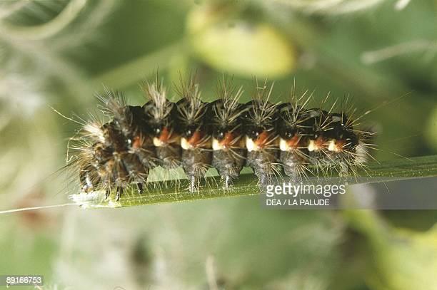 Lymantriidae caterpillar on plant