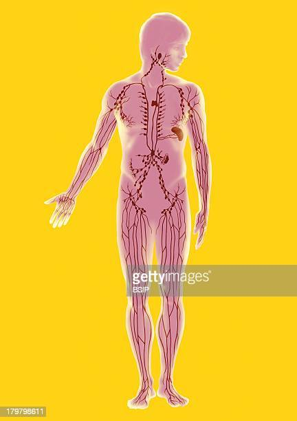 Lymphatic System Illustration Man Frontal View Lymphatic Vessels And Ganglions Lingual Tonsils Thymus Peyers Patches At The Level Of The Intestinum...