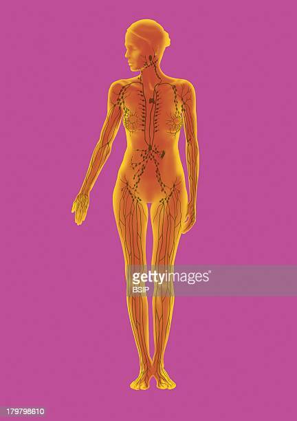 Lymphatic System Illustration Woman Frontal View Lymphatic Vessels And Ganglions Lingual Tonsils Thymus Peyers Patches At The Level Of The Intestinum...