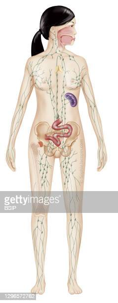 Lymphatic system in adults, lymphatic network, lymph nodes, lymphoid organs. Medical illustration depicting the lymphatic system in a female...