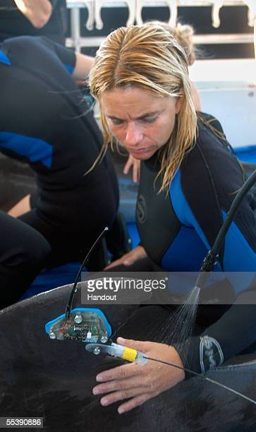 Lynn Stine a volunteer from the Marine Mammal Conservancy in Key Largo FL attends to one of two roughtooth dolphins being transported by boat to a...