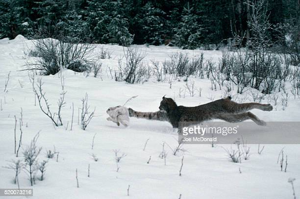 lynx chasing snowshoe hare - canadian lynx stock pictures, royalty-free photos & images