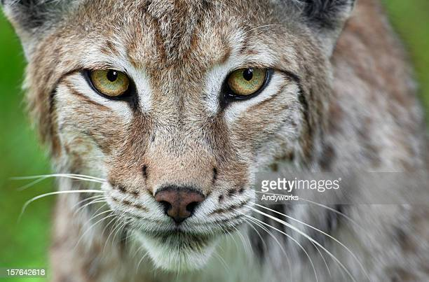 lynx close up - lynx stock photos and pictures